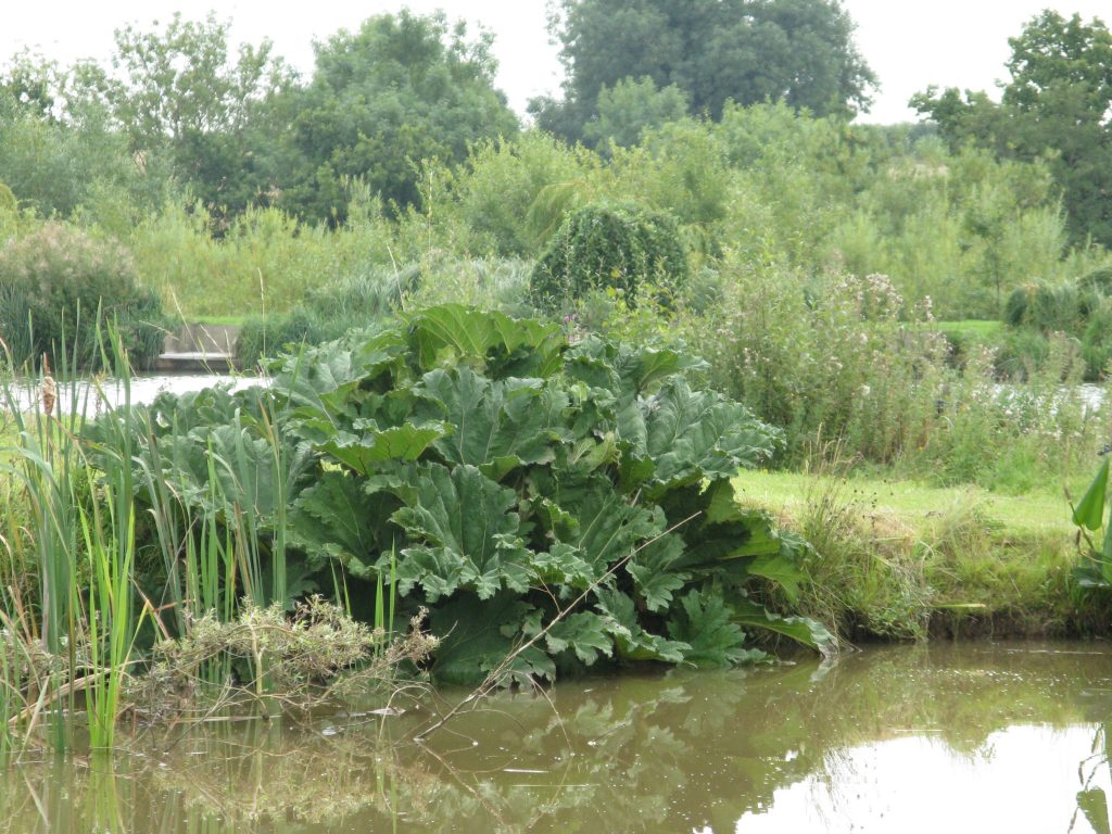 Glebe - Giant Rhubarb